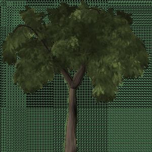 arbre poivrier