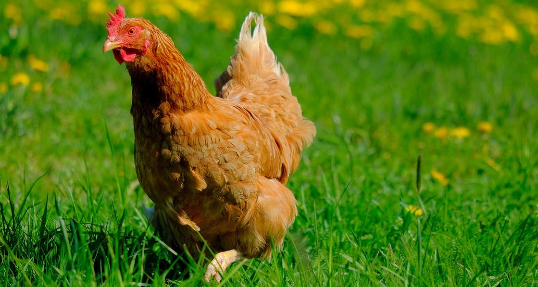 Comment bien nourrir ses poules